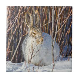 USA, Wyoming, White-tailed Jackrabbit sitting on Ceramic Tile