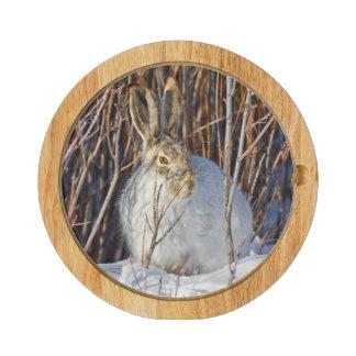 USA, Wyoming, White-tailed Jackrabbit sitting on Cheese Board