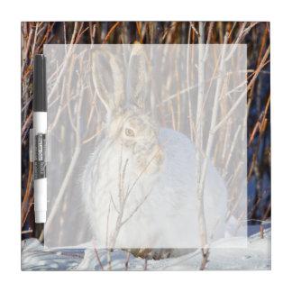 USA, Wyoming, White-tailed Jackrabbit sitting on Dry-Erase Board