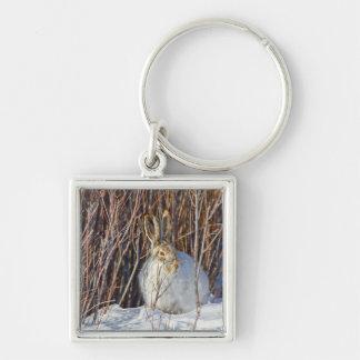 USA, Wyoming, White-tailed Jackrabbit sitting on Keychain