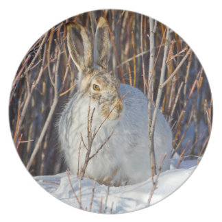 USA, Wyoming, White-tailed Jackrabbit sitting on Melamine Plate