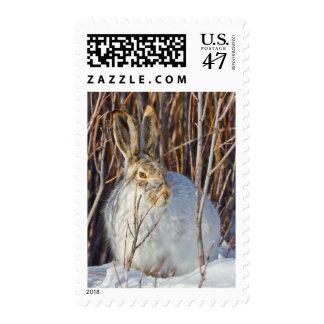 USA, Wyoming, White-tailed Jackrabbit sitting on Postage
