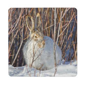 USA, Wyoming, White-tailed Jackrabbit sitting on Puzzle Coaster