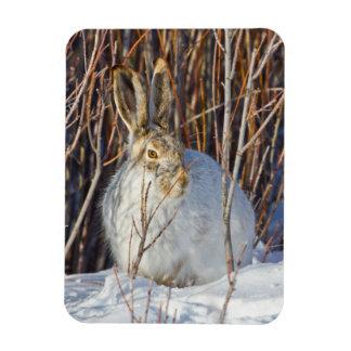 USA, Wyoming, White-tailed Jackrabbit sitting on Rectangular Photo Magnet