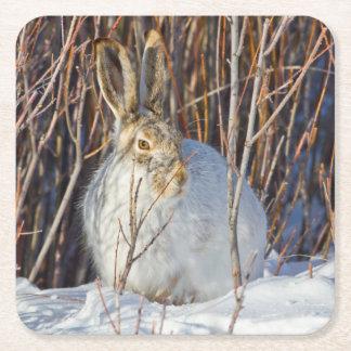 USA, Wyoming, White-tailed Jackrabbit sitting on Square Paper Coaster