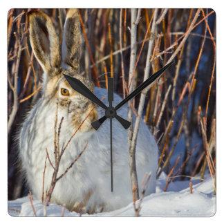 USA, Wyoming, White-tailed Jackrabbit sitting on Square Wall Clock