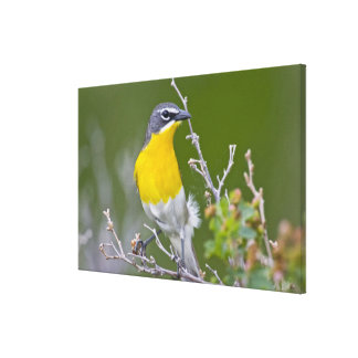 USA, Wyoming, Yellow-breasted Chat Icteria 2 Canvas Print