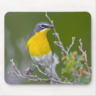 USA, Wyoming, Yellow-breasted Chat Icteria 2 Mouse Pad