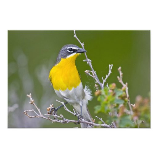 USA, Wyoming, Yellow-breasted Chat Icteria 2 Photo Print