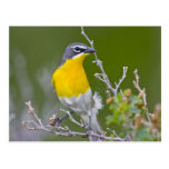 USA, Wyoming, Yellow-breasted Chat Icteria 2 Postcard