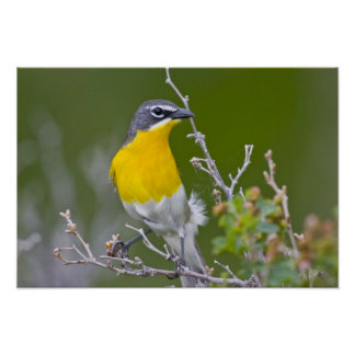 USA, Wyoming, Yellow-breasted Chat Icteria 2 Poster