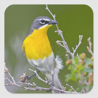 USA, Wyoming, Yellow-breasted Chat Icteria 2 Square Sticker