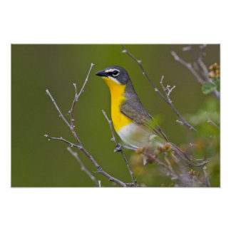 USA, Wyoming, Yellow-breasted Chat Icteria Poster