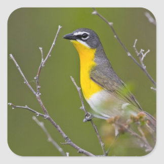 USA, Wyoming, Yellow-breasted Chat Icteria Square Sticker