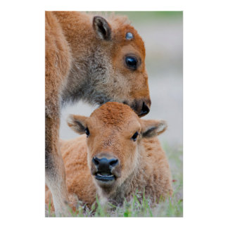 USA, Wyoming, Yellowstone National Park, A bison Poster