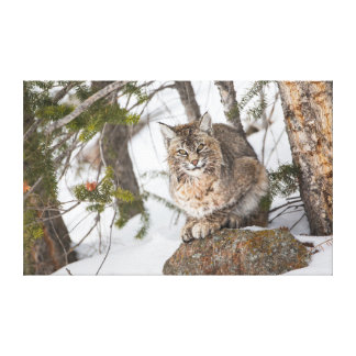 USA, Wyoming, Yellowstone National Park, Bobcat 1 Canvas Print