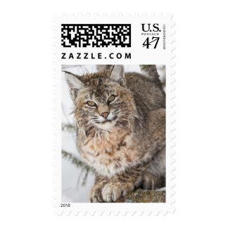 USA, Wyoming, Yellowstone National Park, Bobcat 1 Postage Stamp
