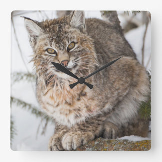 USA, Wyoming, Yellowstone National Park, Bobcat 1 Square Wall Clock