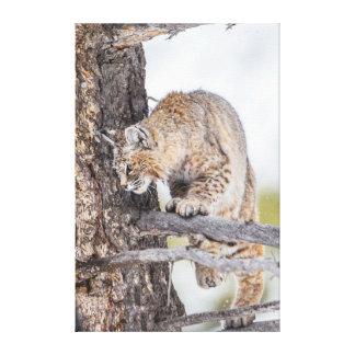 USA, Wyoming, Yellowstone National Park, Bobcat 2 Canvas Print