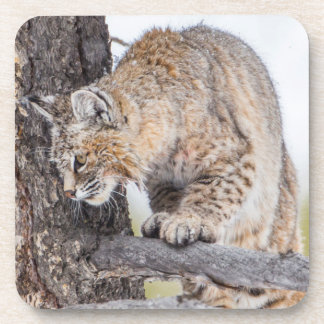 USA, Wyoming, Yellowstone National Park, Bobcat 2 Coaster