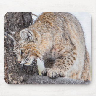 USA, Wyoming, Yellowstone National Park, Bobcat 2 Mouse Pad