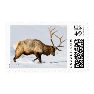 USA, Wyoming, Yellowstone National Park, Bull 1 Postage