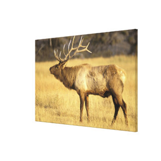 USA, Wyoming, Yellowstone National Park. Bull Canvas Print