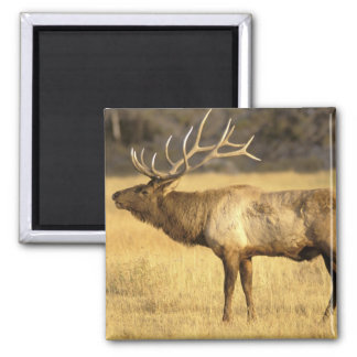 USA, Wyoming, Yellowstone National Park. Bull Magnet
