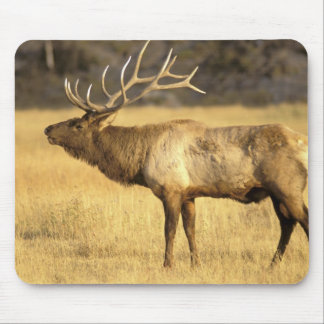 USA, Wyoming, Yellowstone National Park. Bull Mouse Pad