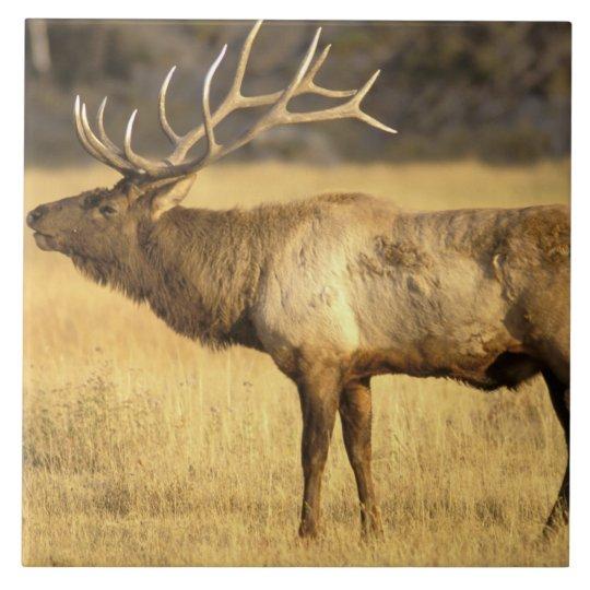 USA, Wyoming, Yellowstone National Park. Bull Tile