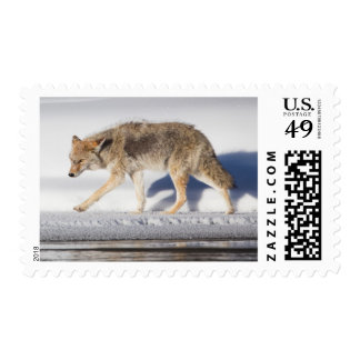 USA, Wyoming, Yellowstone National Park, Coyote 1 Postage
