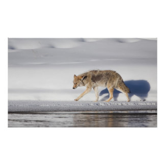 USA, Wyoming, Yellowstone National Park, Coyote 1 Poster