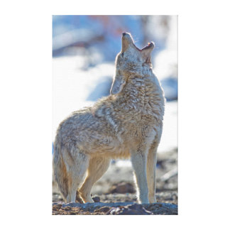 USA, Wyoming, Yellowstone National Park, Coyote 2 Canvas Print