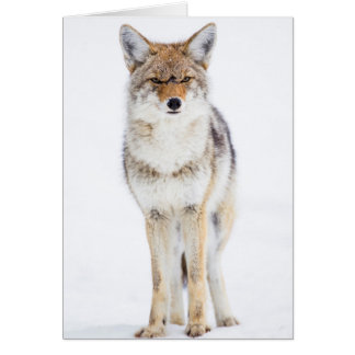 USA, Wyoming, Yellowstone National Park, Coyote 3 Card