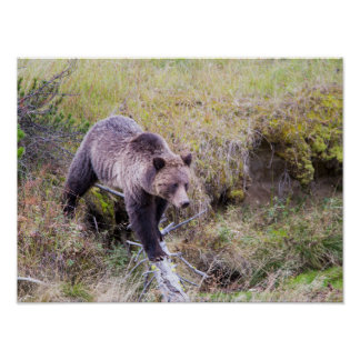 USA, Wyoming, Yellowstone National Park, Grizzly 1 Poster
