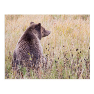 USA, Wyoming, Yellowstone National Park, Grizzly 2 Postcard