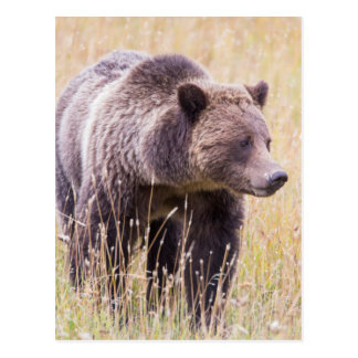 USA, Wyoming, Yellowstone National Park, Grizzly 3 Postcard
