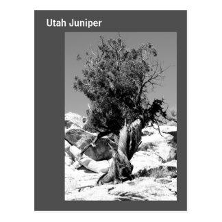 Utah Juniper Postcard