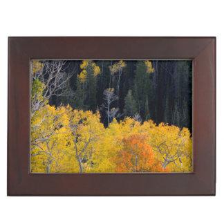 Utah. LOS E.E.U.U. Árboles de Aspen en otoño en el Caja De Recuerdos