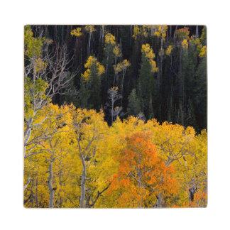 Utah. LOS E.E.U.U. Árboles de Aspen en otoño en el Posavasos De Madera