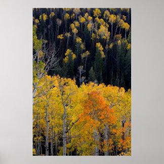 Utah. LOS E.E.U.U. Árboles de Aspen en otoño en el Póster