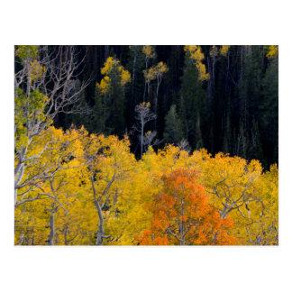 Utah. LOS E.E.U.U. Árboles de Aspen en otoño en el Tarjetas Postales