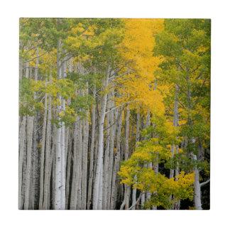 Utah. LOS E.E.U.U. Árboles de Aspen (Populus Teja Ceramica