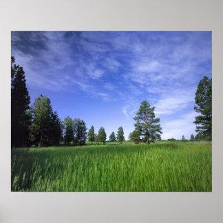 UTAH. LOS E.E.U.U. Pinos ponderosa Pinus Ponderosa Impresiones