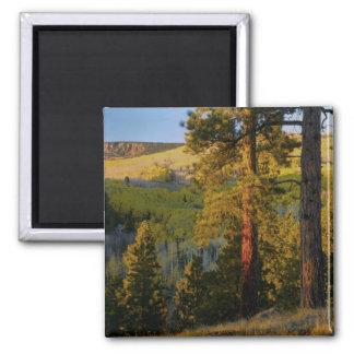 UTAH. Ponderosa pines & aspen, autumn. Sunrise, 2 Inch Square Magnet