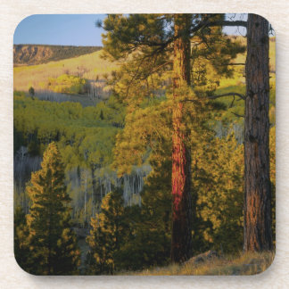 UTAH. Ponderosa pines & aspen, autumn. Sunrise, Beverage Coaster