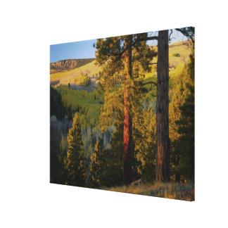 UTAH. Ponderosa pines & aspen, autumn. Sunrise, Canvas Print