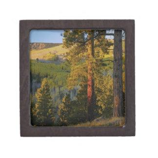 UTAH. Ponderosa pines & aspen, autumn. Sunrise, Gift Box