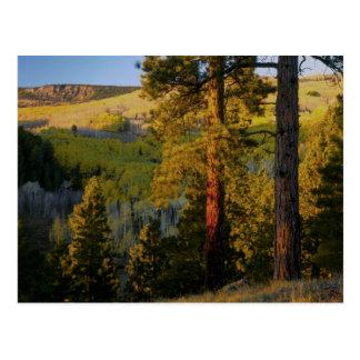 UTAH. Ponderosa pines & aspen, autumn. Sunrise, Postcard