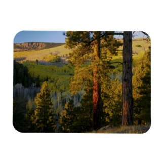 UTAH. Ponderosa pines & aspen, autumn. Sunrise, Rectangular Photo Magnet